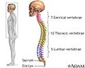 Skeletal spine